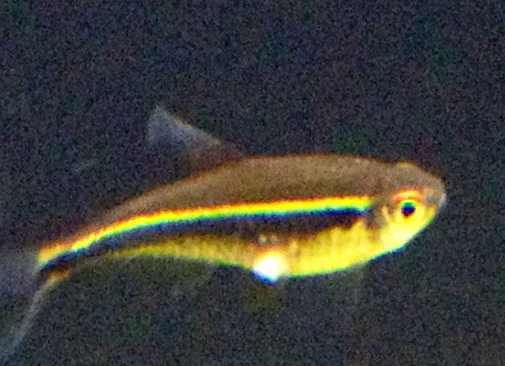 Sore On Belly Of Black Neon Tetra Tropical Fish Keeping Aquarium