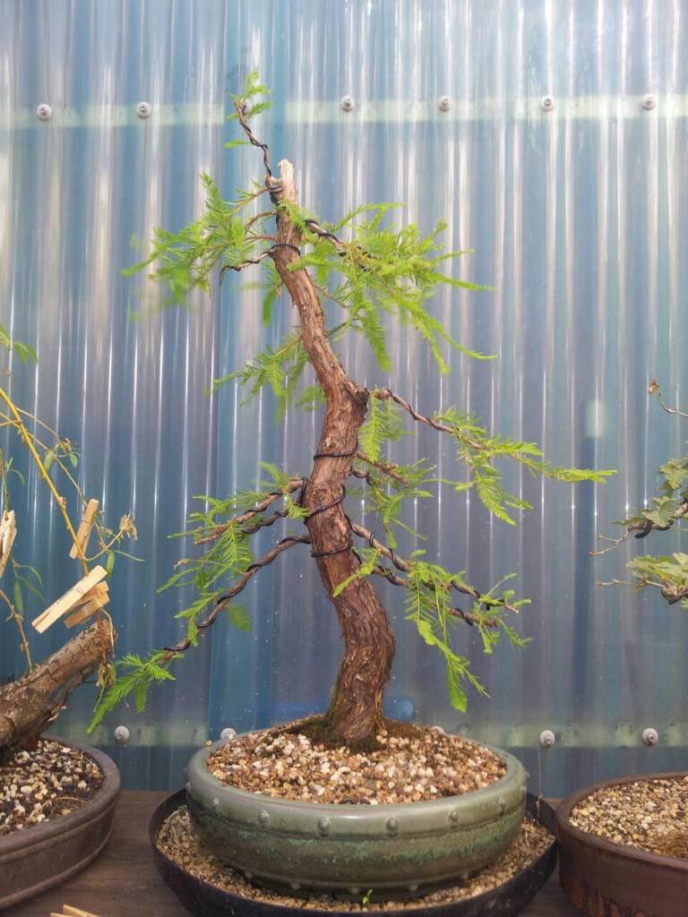 Ausbonsai View Topic Swamp Cypress Bonsai Wiring Time Image