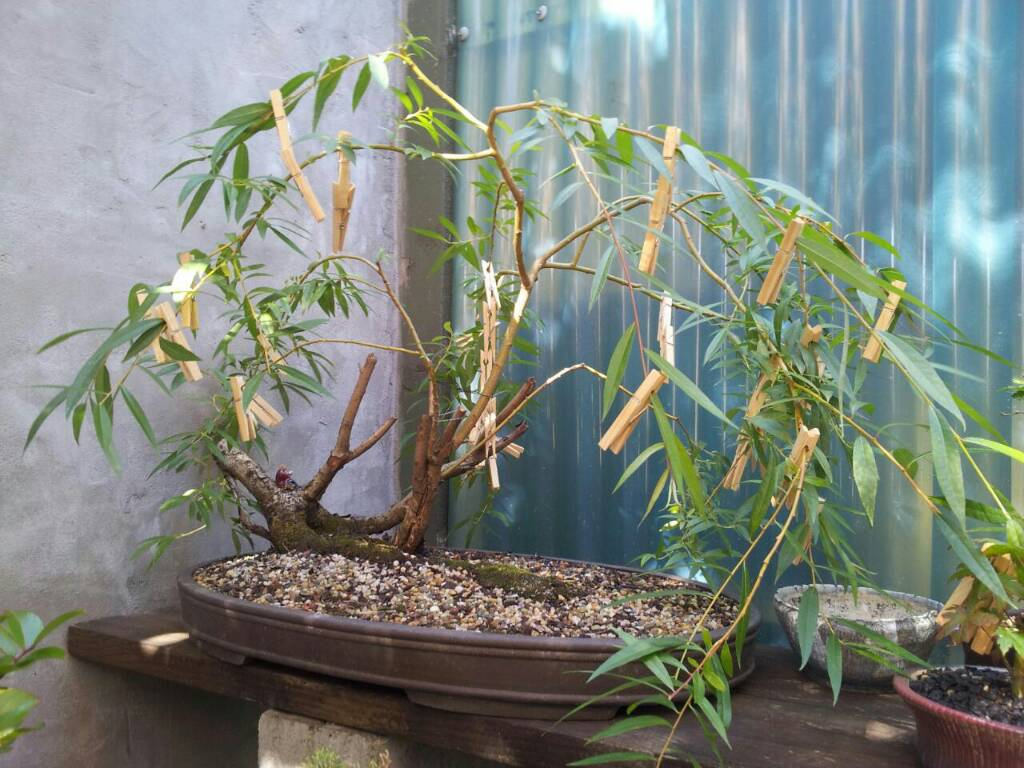 Wanted A Lead On Weeping Willow To Bonsai Page 4 Ausbonsai