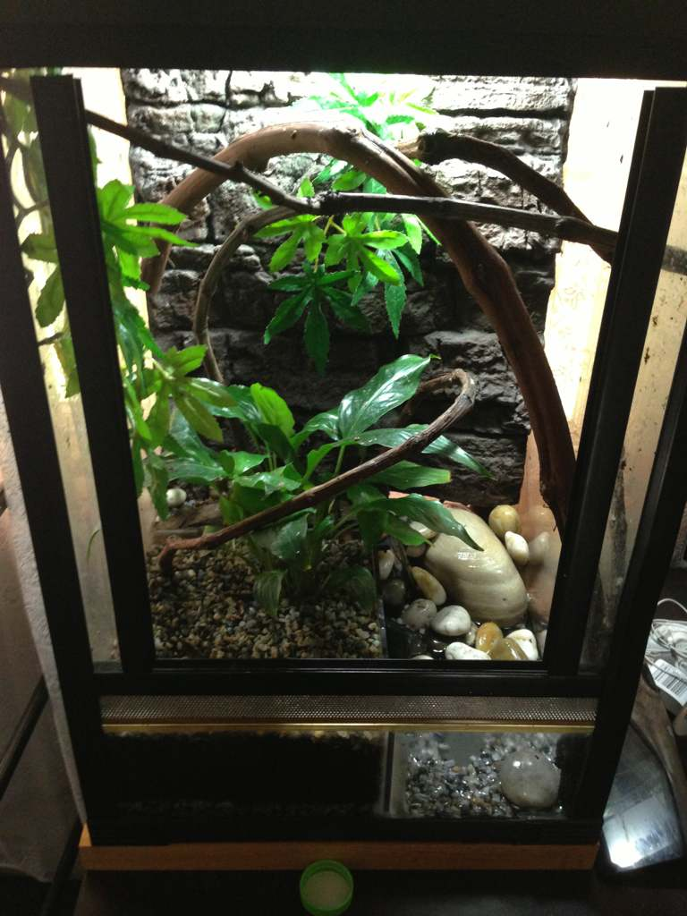 Red Eyed Tree Frog Care Aussie Pythons And Snakes