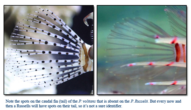 Voltan Lion Fish