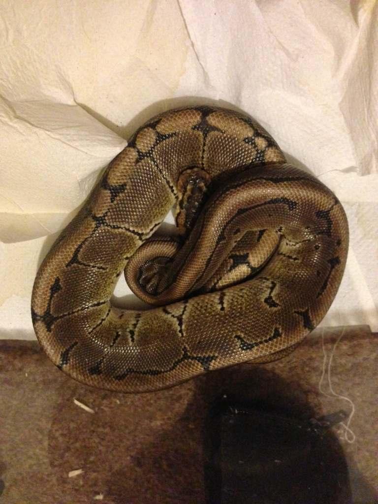 Royal python size:age - Reptile Forums