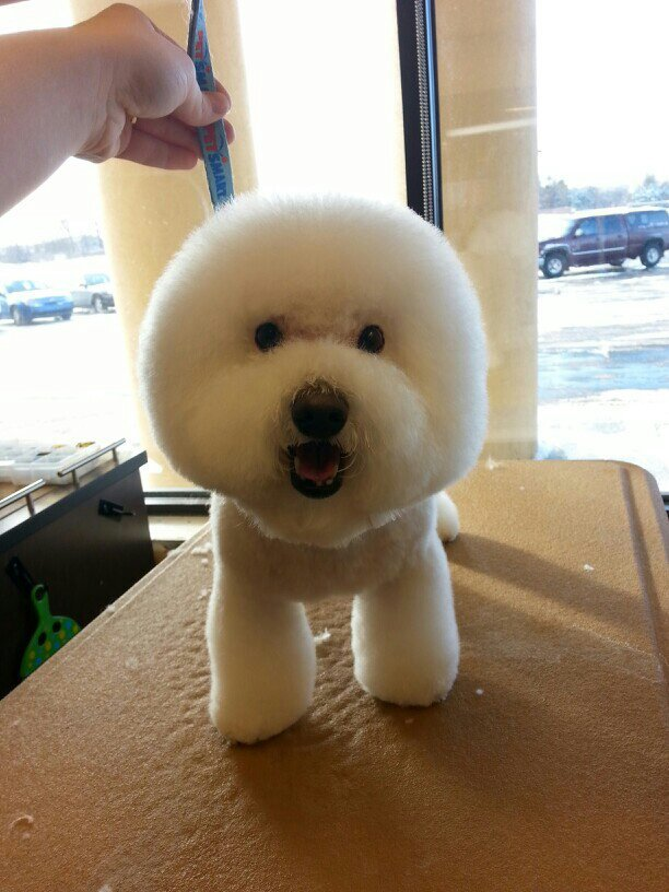 Pomeranian Teddy Bear Haircut Styles Images Free Download