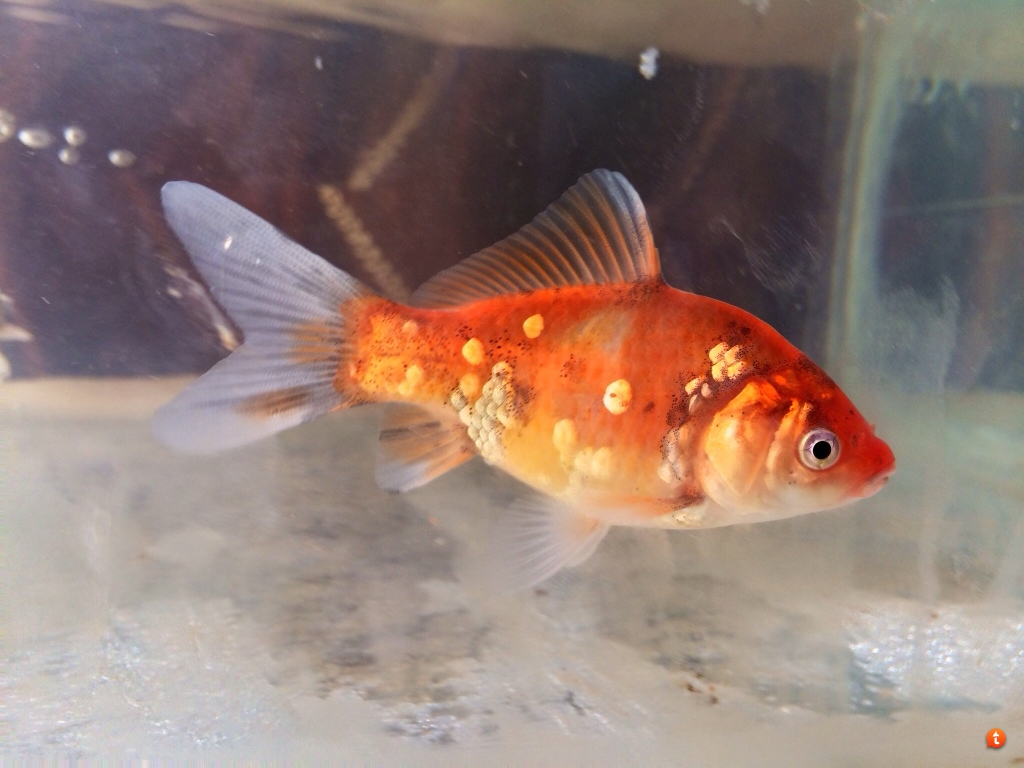 Goldfish breeding and colors