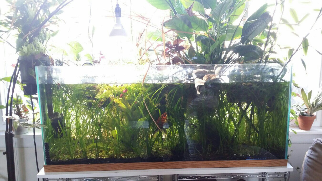 Freshwater aquarium fish no heater - This Is My First Dirted Tank It Has No Heater And An Aquaclear 70 For Circulation I Currently Have One Led Bulb Over It But Natural Sunlight From North