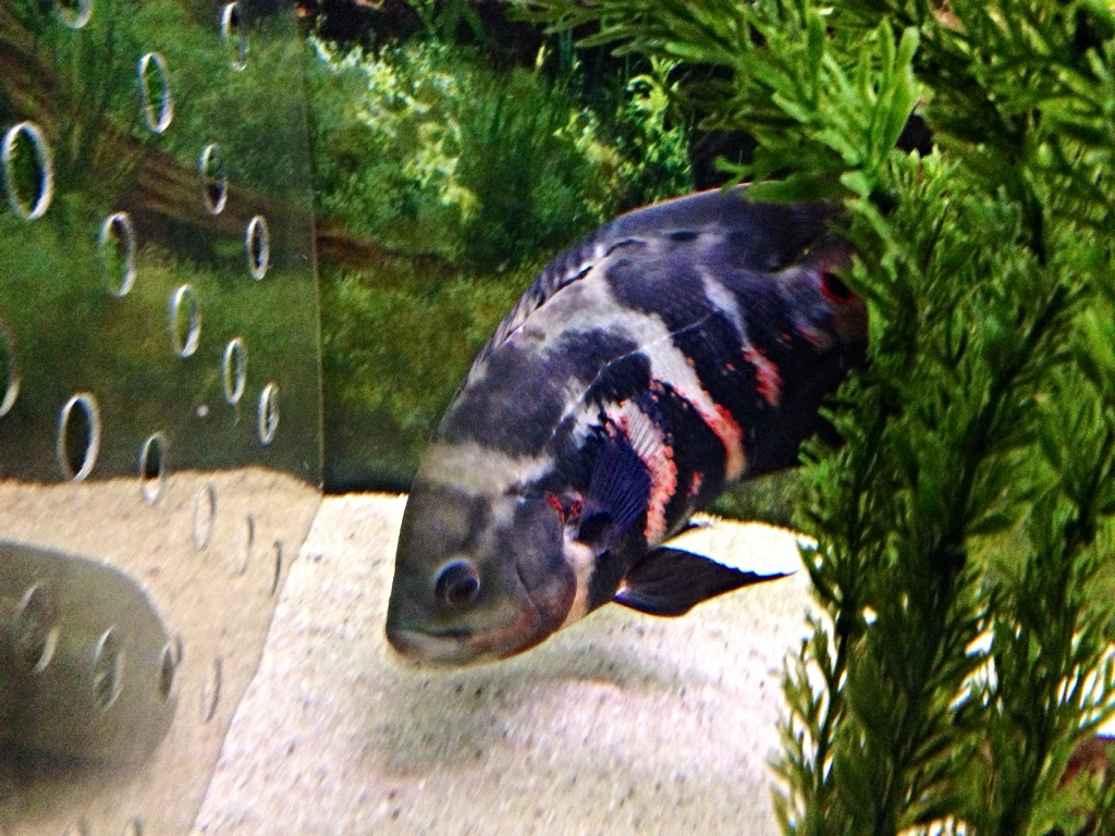 Fish aquarium oscar - Here S A Pick Of My Wild Caught Oscar Which Went Through A Stage Of All Black And Only Red Around The Eyespot On The Tail Before Developing Any Red