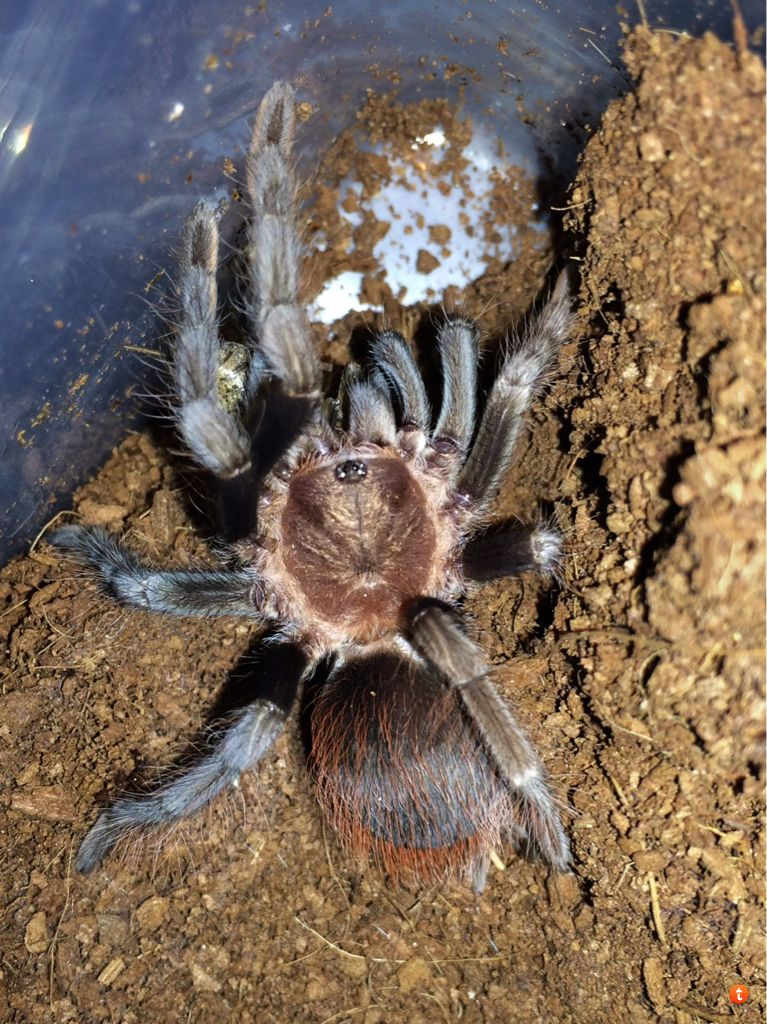 Your Tarantula and Spider pix.... - Page 3 Bugesyqe