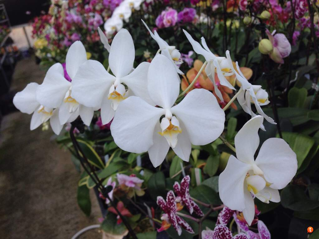 Phalaenopsis Species With White Flowers Slippertalk Orchid Forum