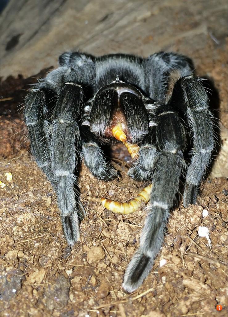 Your Tarantula and Spider pix.... - Page 3 U9u6e6a6