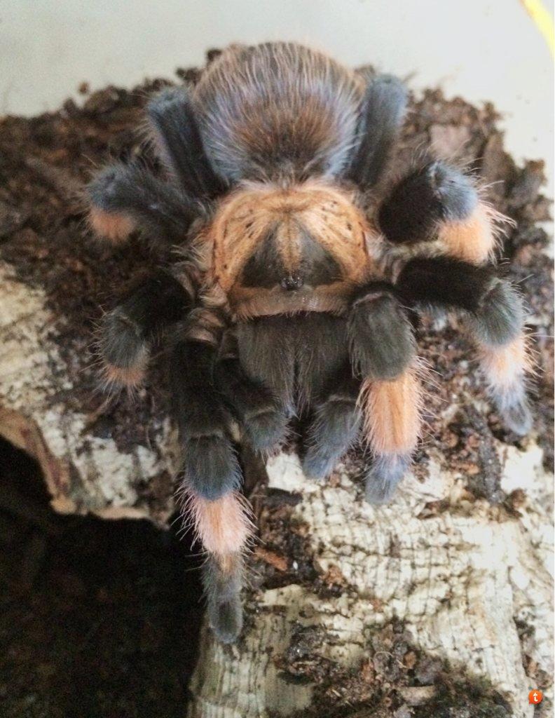 Your Tarantula and Spider pix.... - Page 3 Ujedyru5