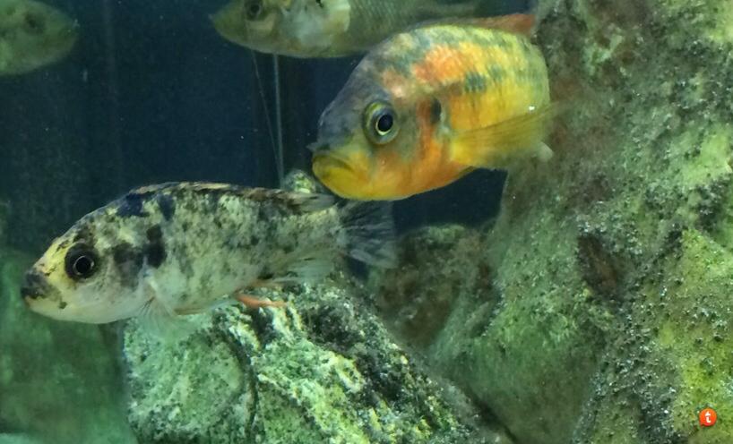 Картинки по запросу lipochromis melanopterus