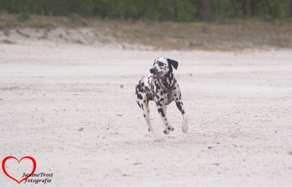 hond ontstoken oog