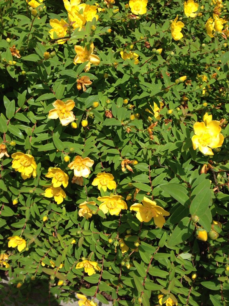 Cespugli Sempreverdi Con Fiori arbusto molto comune con fiori gialli da riconoscere | forum di