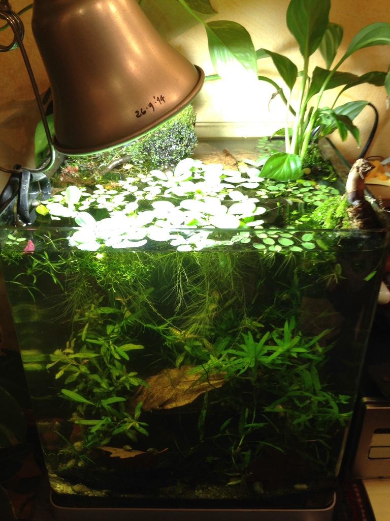 allestimento acquario dolce litri: come coltivare delle piante in ... - Allestimento Acquario Per Betta Splendens