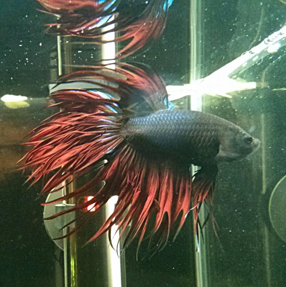 allestire acquario per pesci rossi: pirana aquarium negozio di ... - Allestimento Acquario Per Betta Splendens