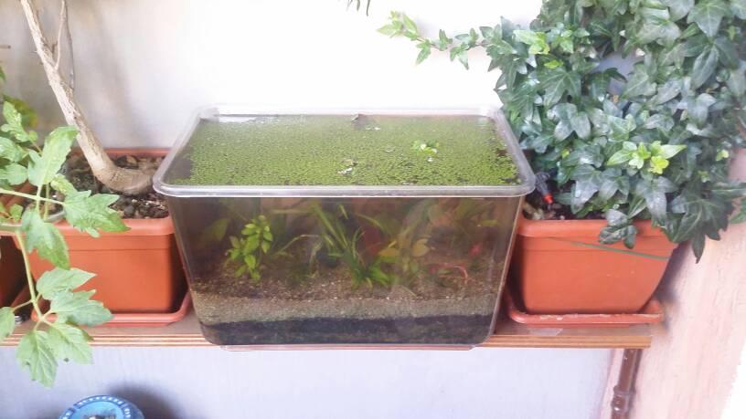 la mia vaschetta sul balcone. - forum acquariofilia facile ... - Acquario Per Gambusie