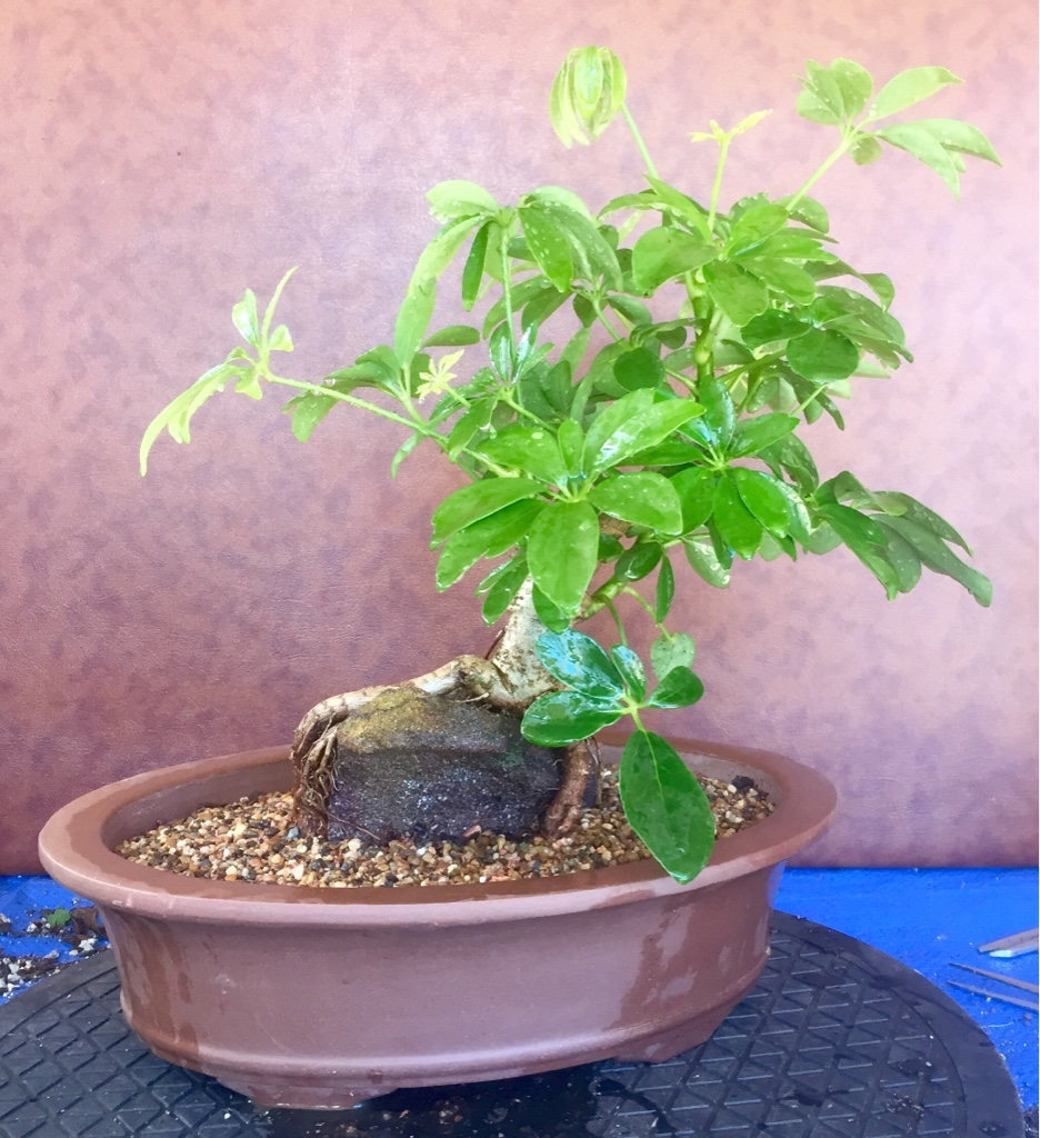 Ausbonsai View Topic My First Root Over Rock Ror Wiring Schefflera Bonsai Image