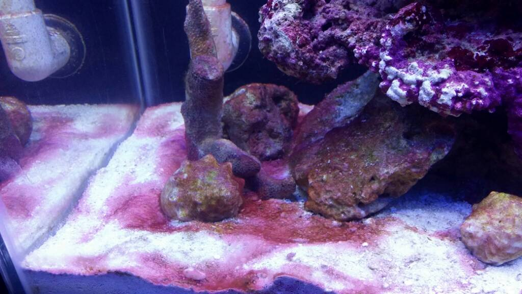 My Tank Is Starting To Get More And Pink Algae This A Good Sign How Do I Keep It Under Control