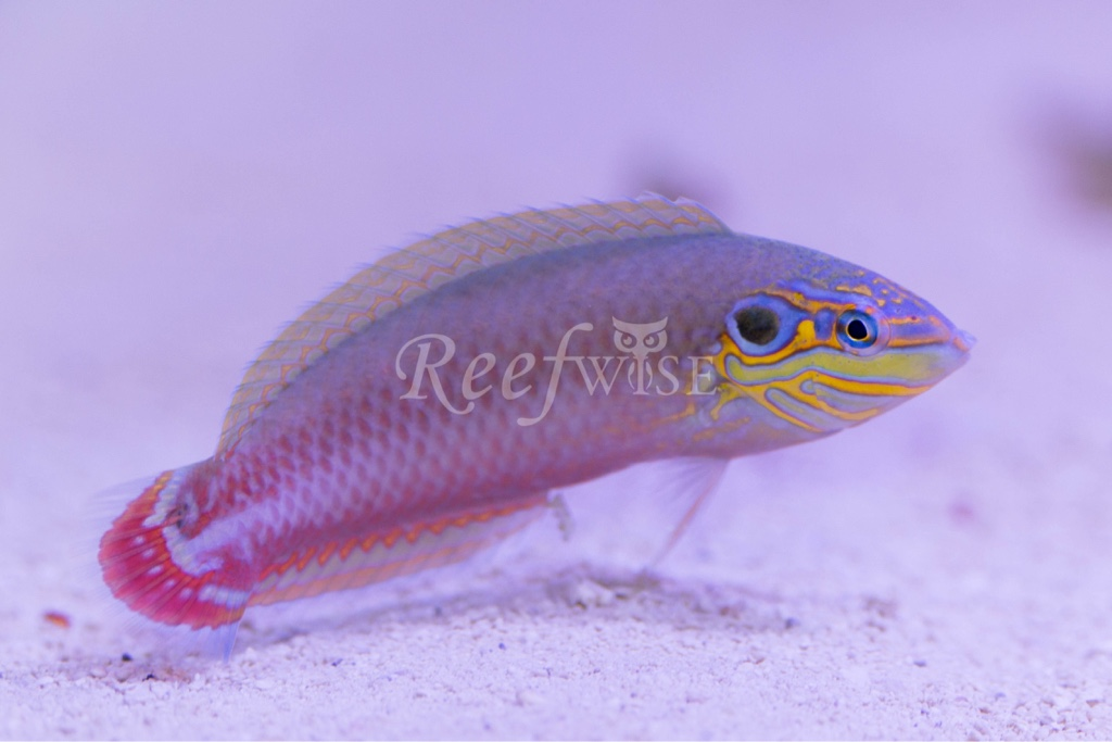 Reefwise Flame Wrasse Pairs Black Tangs More