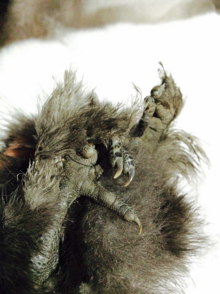 backyard poultry forum u2022 view topic silkie missing toe on each foot