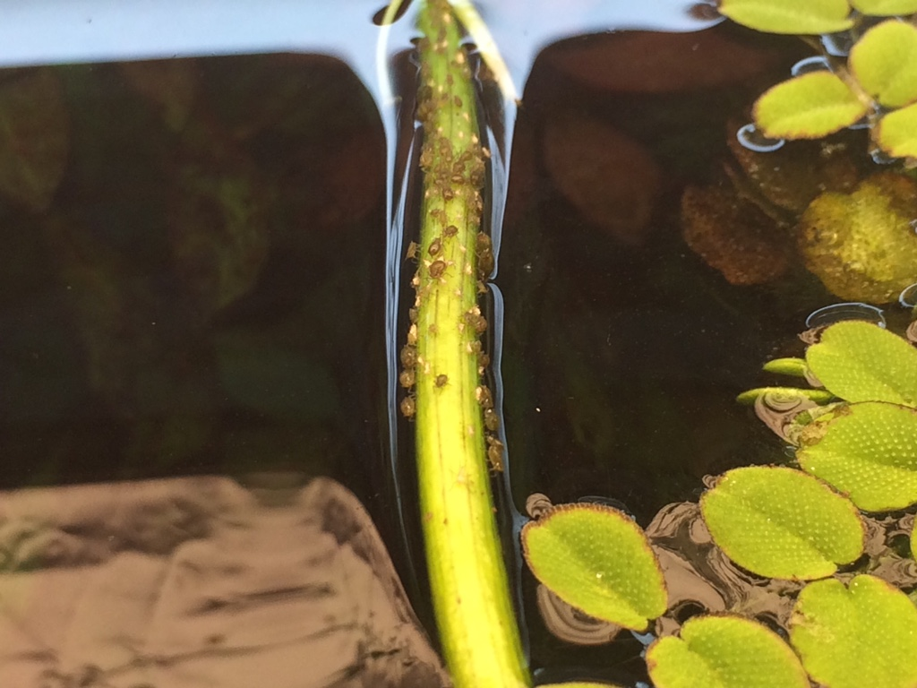 insetti sulle piante galleggianti - forum acquariofilia facile ... - Piante Galleggianti Acquario Chiuso