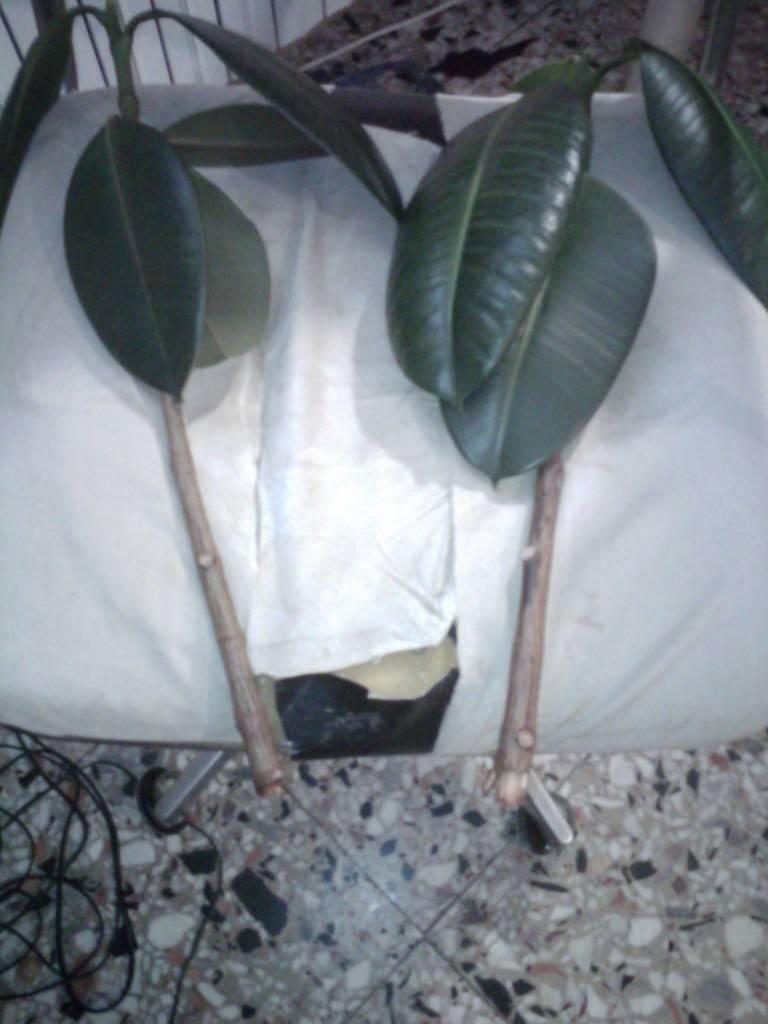 Come Riprodurre Il Ficus Benjamin talee di ficus | forum di giardinaggio.it