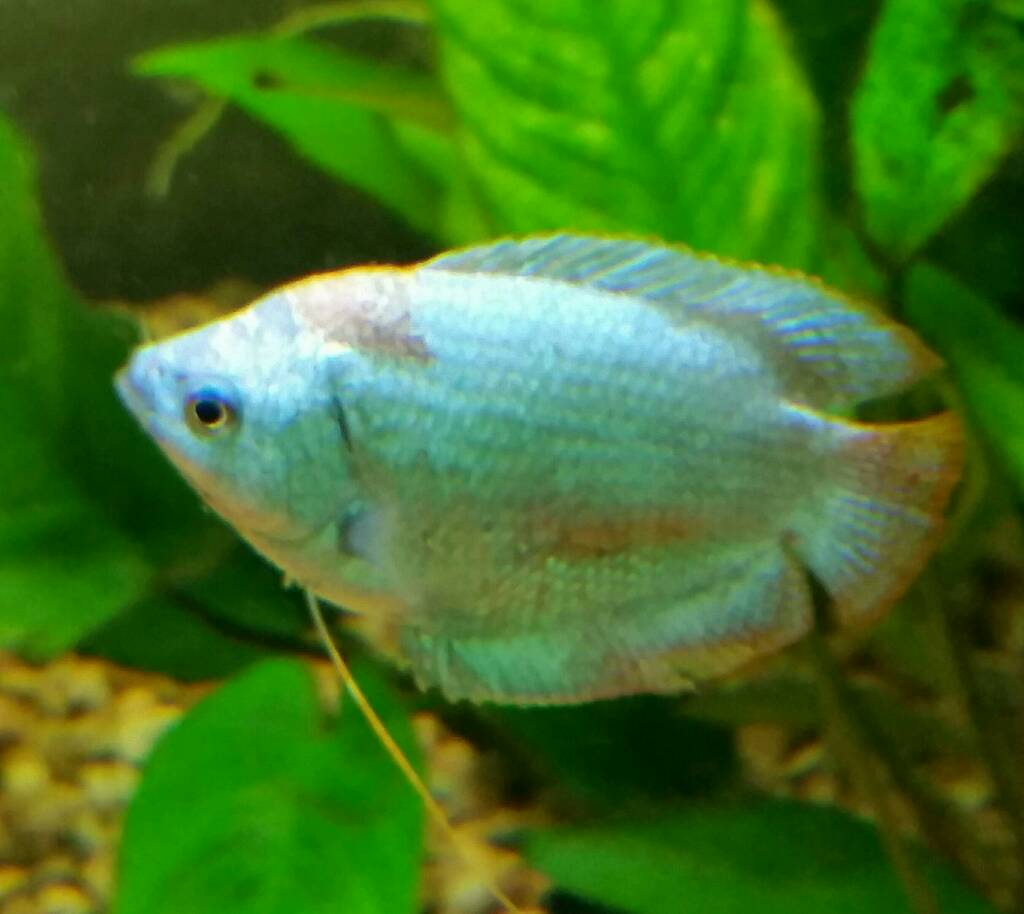 Freshwater fish diseases - Sent From My Sm T320 Using Tapatalk