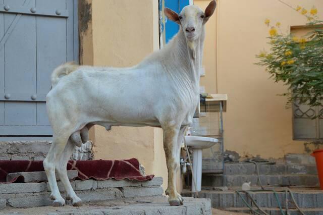 فواخر الماعز البيشي للمربي الحبيشي 8f62e6c5253be9d2783d