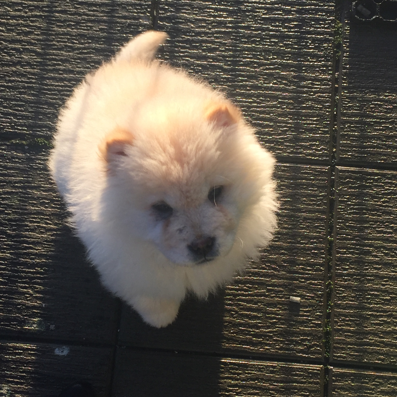 How old is our import, please help  - ChowChow org