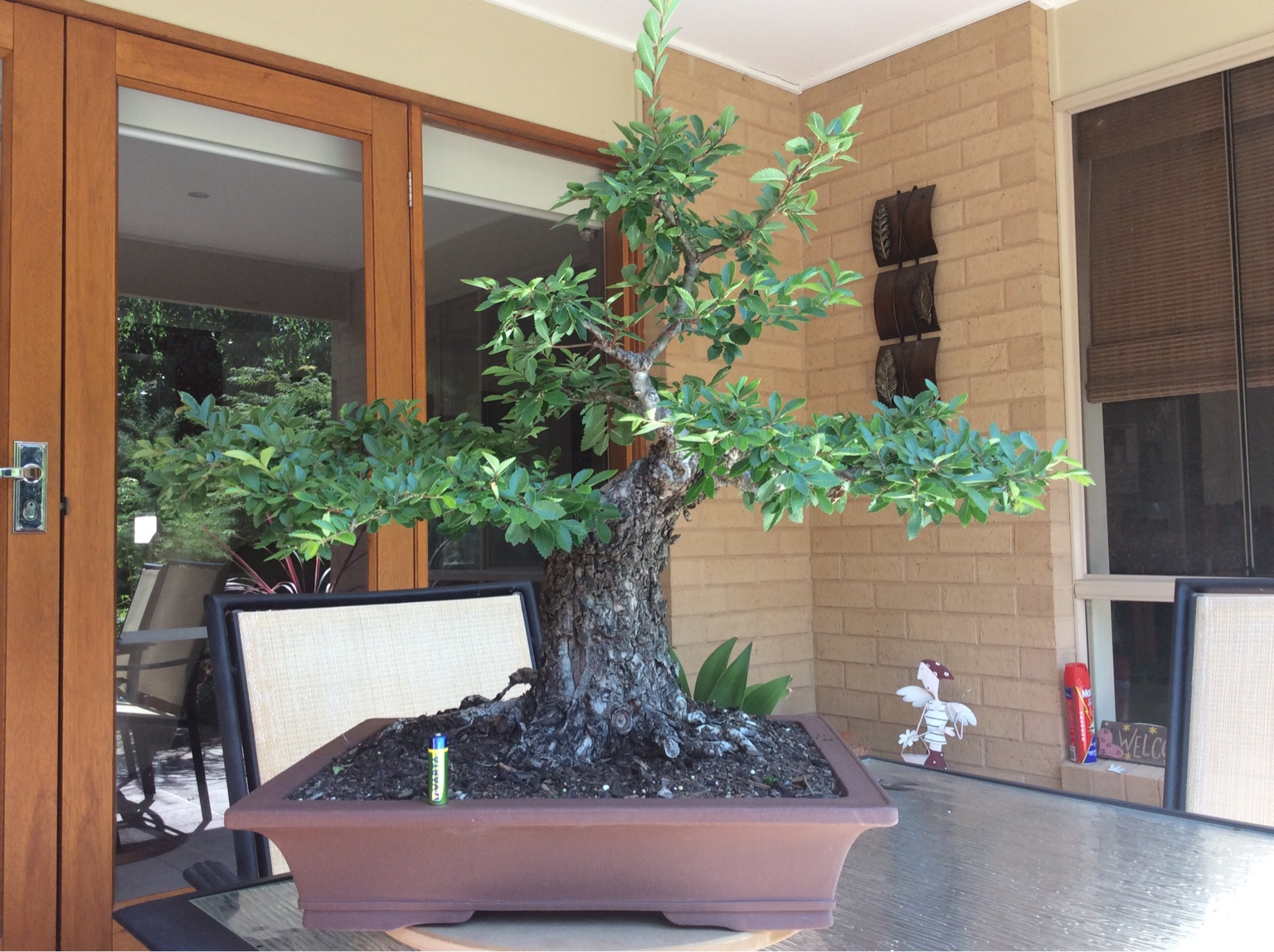 Ausbonsai View Topic Corky Bark Elm Wiring Maple Bonsai After The Chopping And