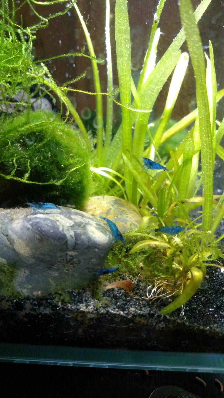 Blue Shrimp Dieing After Molt Tropical Fish Keeping