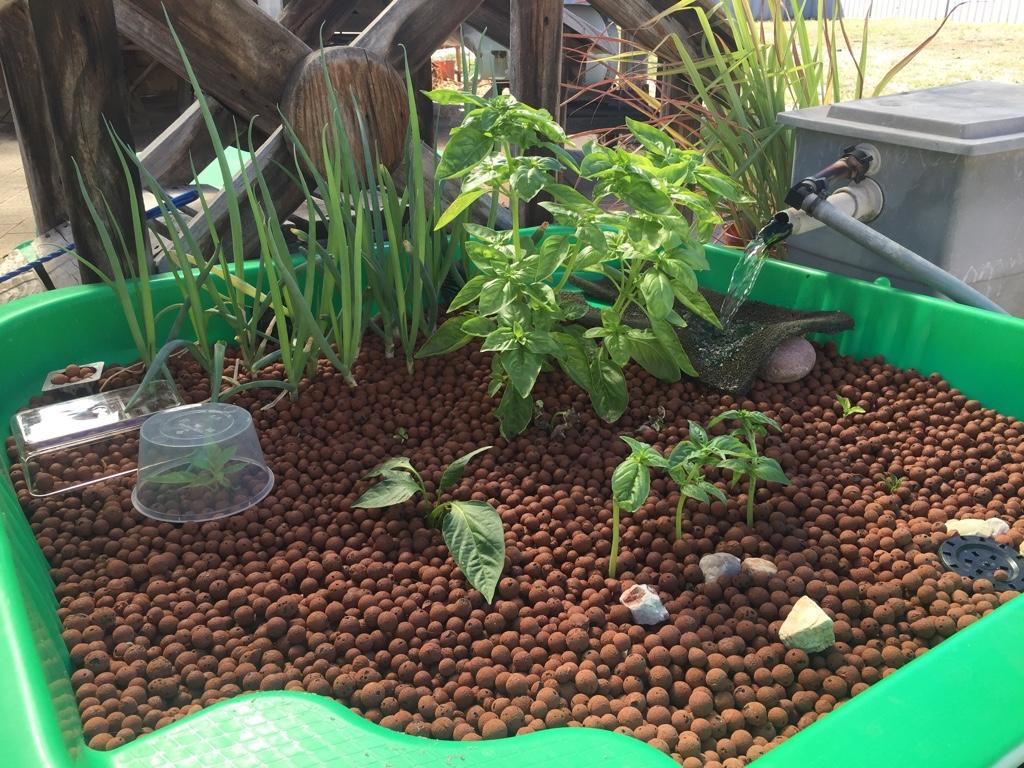 backyard aquaponics view topic hi i 39 m steve from western