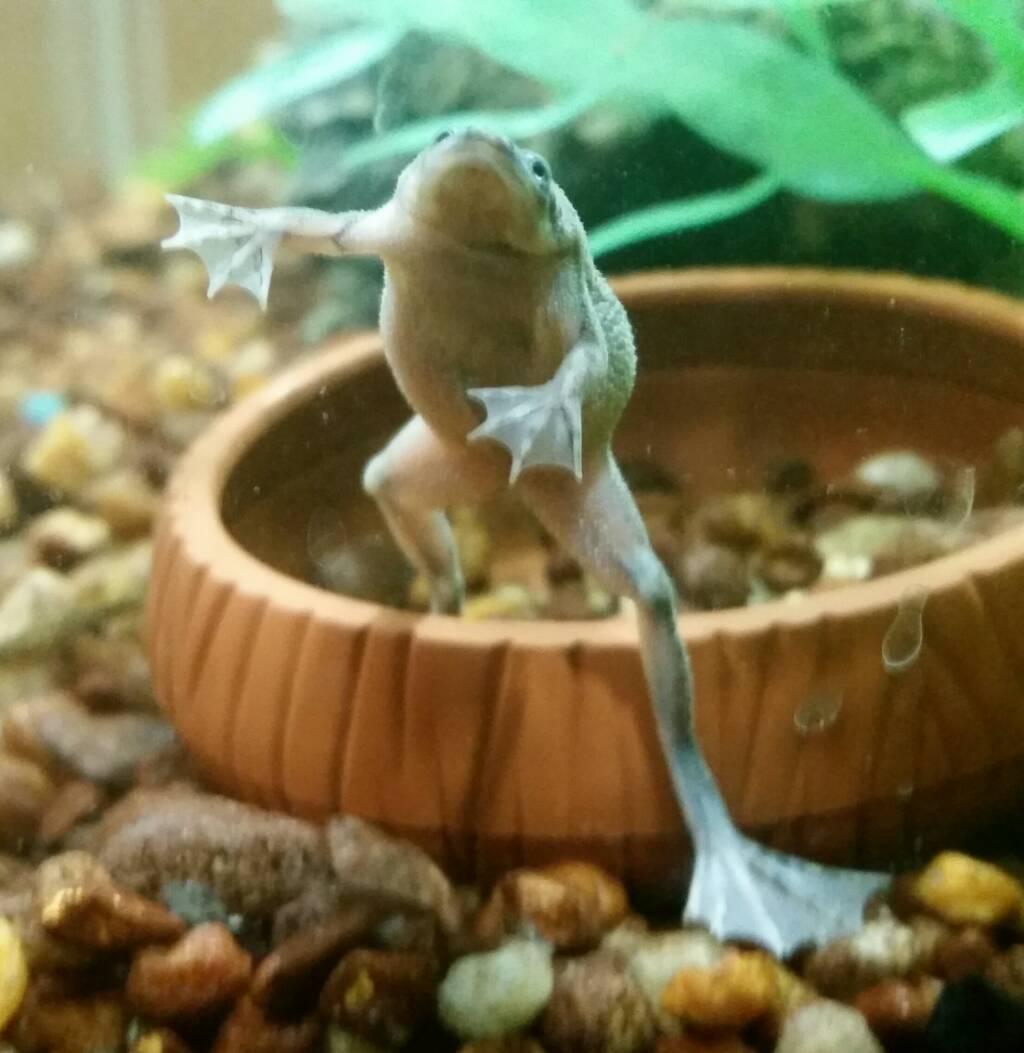 African Dwarf Frog Named Zeus
