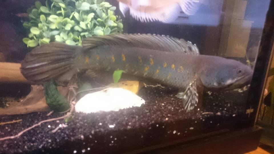 Reptielenforum  u2022 Toon onderwerp   Roofvissen