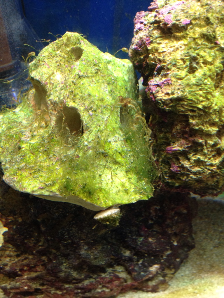 Algae bacteria id reef central online community for White algae in fish tank