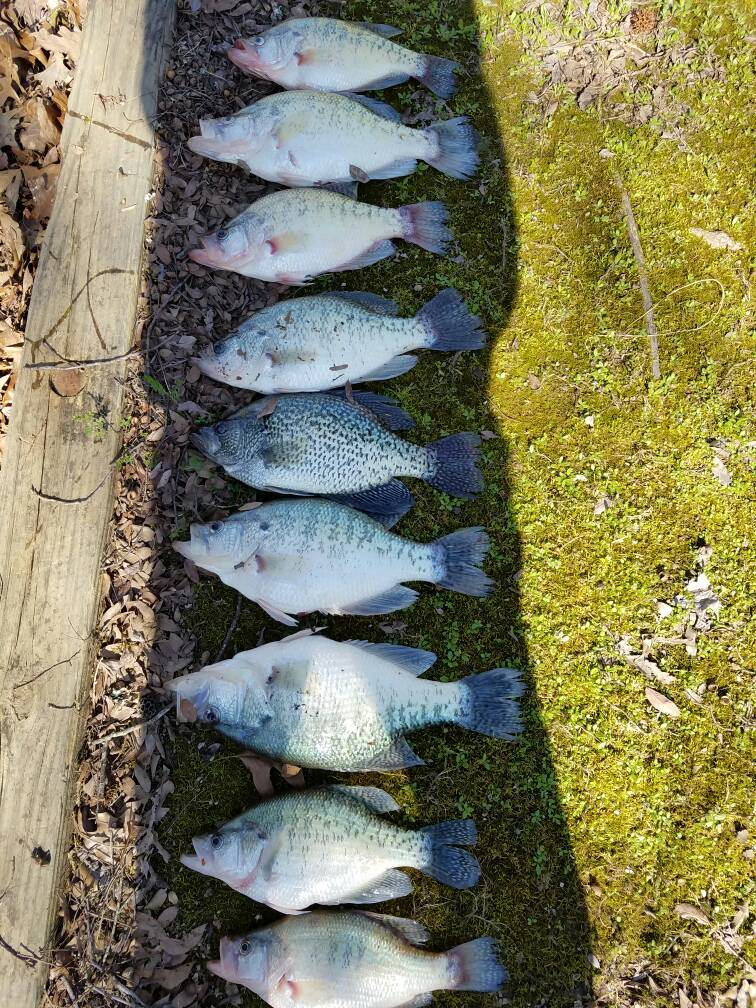 Huge crappie for Sardis lake fishing report