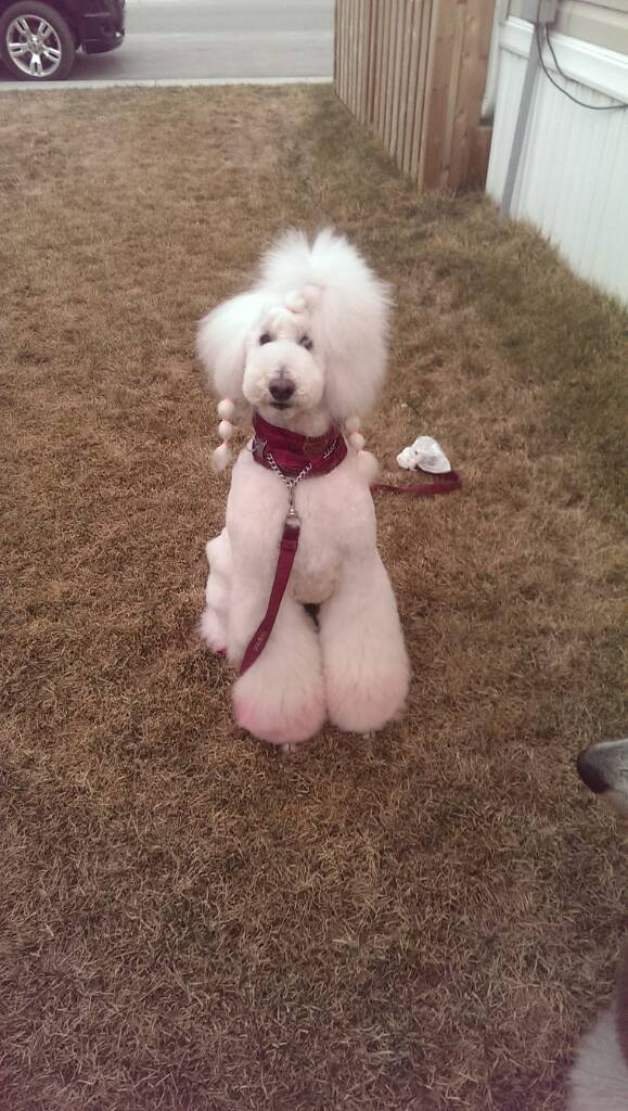 Asian Style Trims On Standard Poodles Poodle Forum Standard