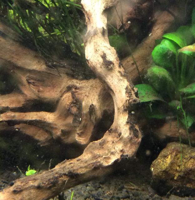 Puntini bianchi su legni acquaportal forum acquario for Legni per acquario
