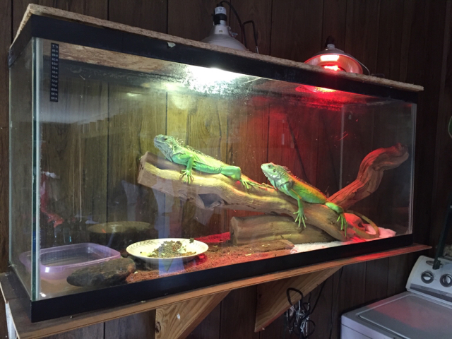 Right now I have her in tacos enclosure and am currently in route to go get an entertainment center and reconstruct it into a iguana cage. & New iguana!