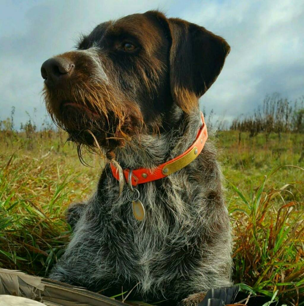 Wirehaired Pointing Griffon Duck Hunting Images & Pictures - Becuo