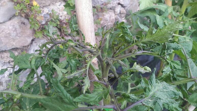 Foglie pomodori accartocciate o arricciolate forum di for Malattie pomodoro