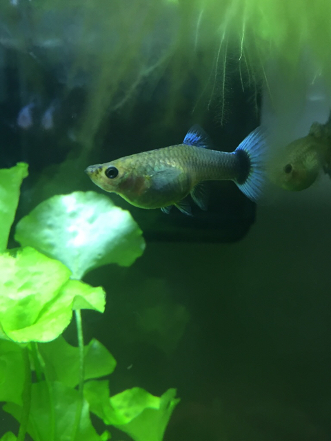 Fat female guppies betta fish and betta fish care for What can you feed betta fish