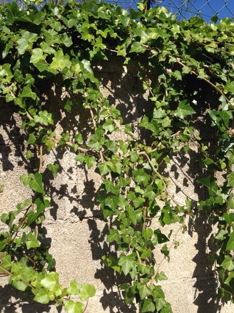 Come fare talee edera forum giardinaggio for Talea edera