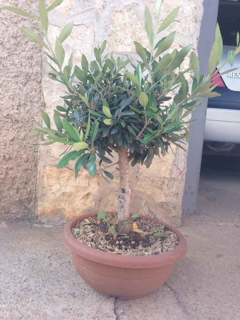 Olivo margotta for Acquisto piante olivo