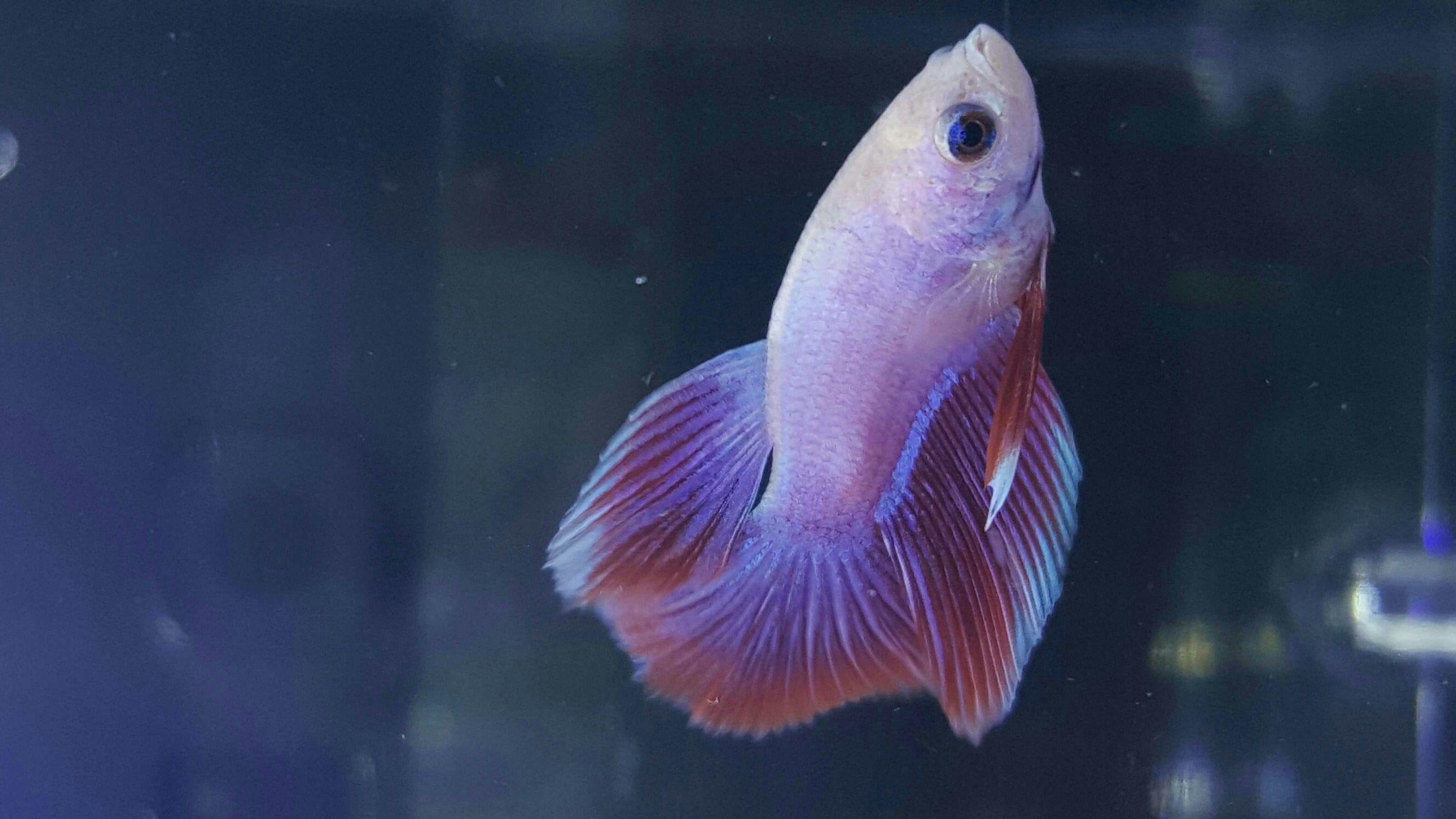 Show quality betta fish and betta fish care for Show betta fish
