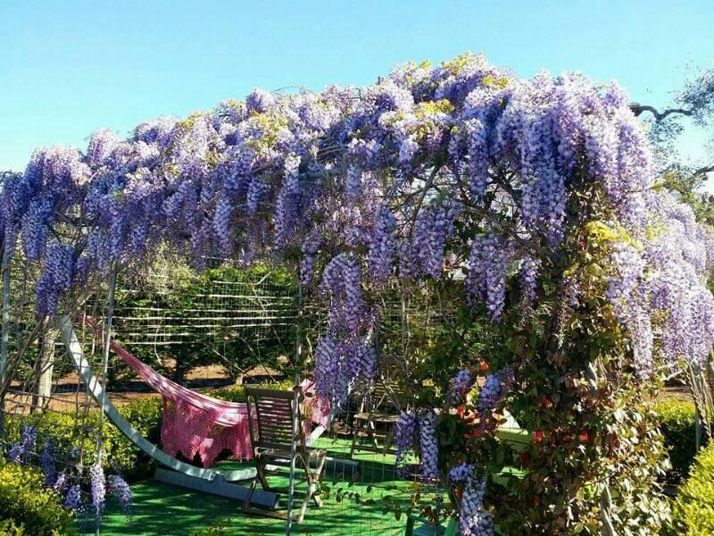 Gazebo glicine forum giardinaggio - Piante per coprire muri ...