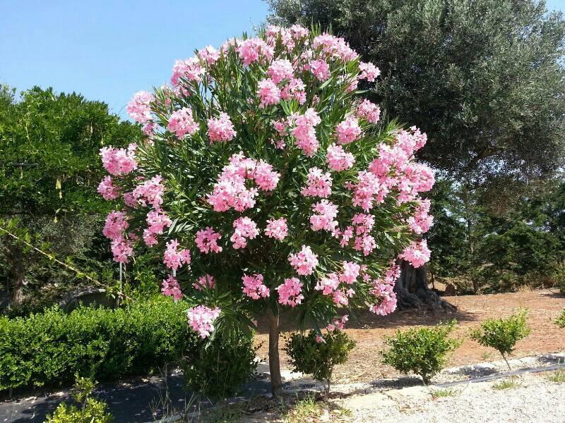 Oleandro ad albero forum giardinaggio for Giardini 82 gravina