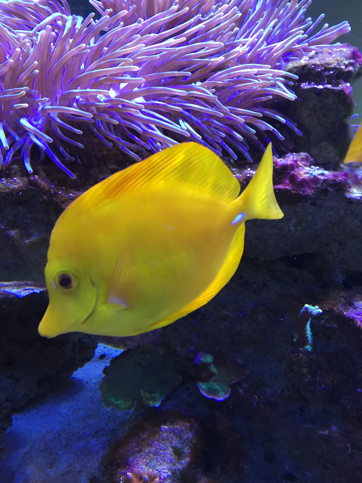 Large fish for sale reef central online community for Reef fish for sale