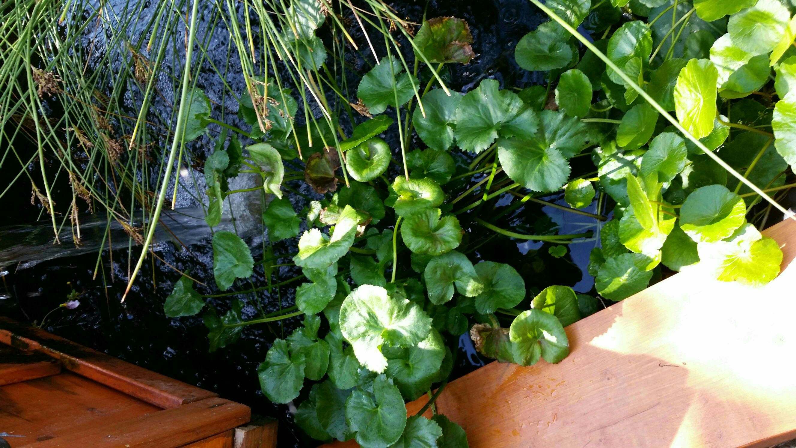 Pond plants for sale for Plants for sale