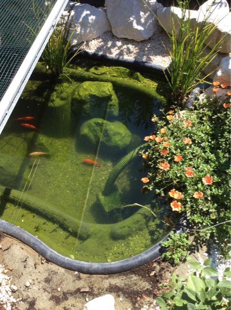 Il mio laghetto di tarta e pesci for Laghetto pesci rossi e tartarughe